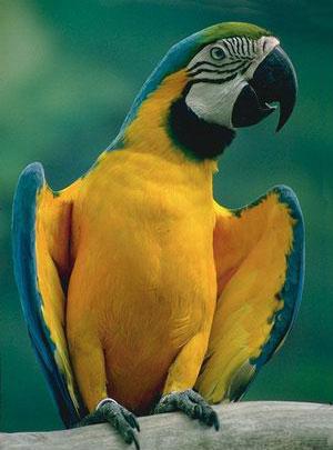 Выбор говорящей птицы, довольно сложная процедура, поскольку нет таких параметров, при